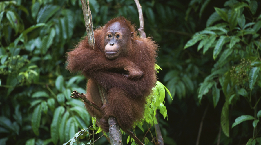 Young orangutan on a tree