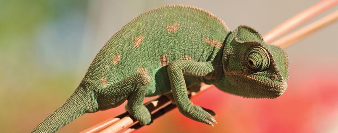 Madagascar- Chameleon