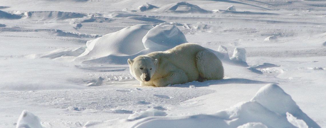 Resting Polarbear