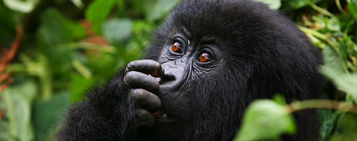 Uganda- Gorilla