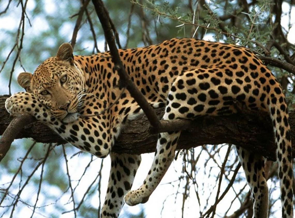 India- Leopard